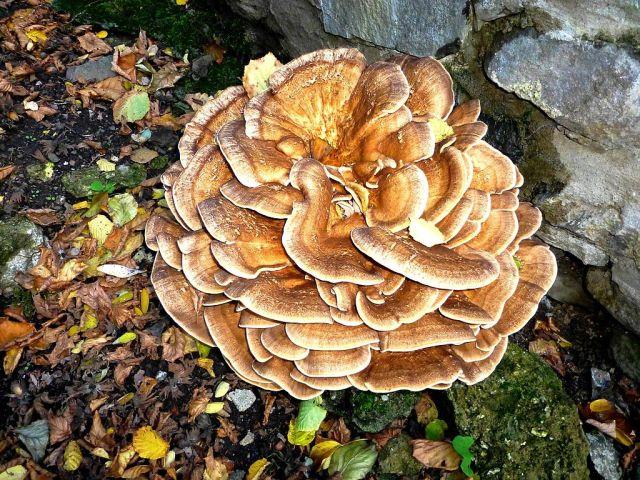 Maitake houba v přírodě